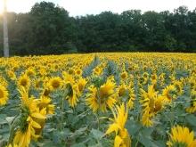 Summer sunflowers in neighbouring field