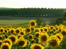 More Sunflower Fields